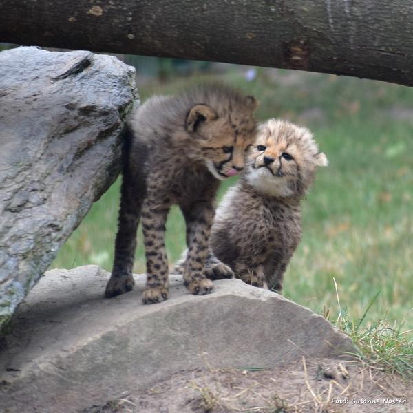 Geparden Nachwuchs Opel-Zoo