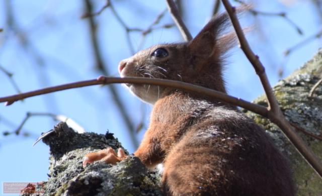 Eichhörnchen Fritz