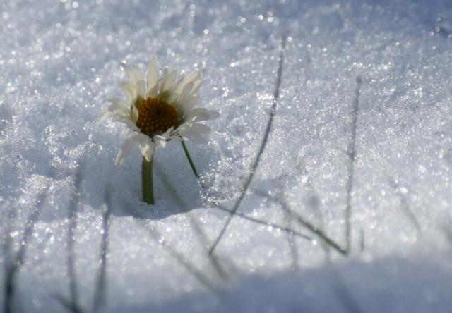 Gänseblümchen Schnee Burgholzhausen