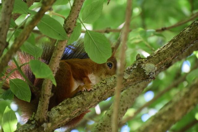 Eichhörnchen, Burgholzhäuser Stadtteilseite
