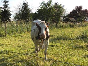 Kuh, Dairy Farm Wien, Burgholzhausen, Burgholzhäuser Stadtteilseite