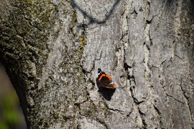 Schmetterling Admiral am Baum