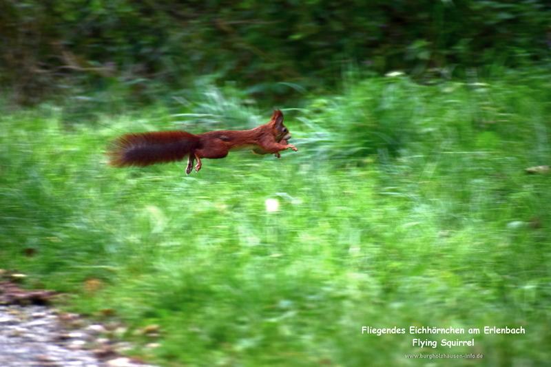 Fliegendes Eichhörnchen, Burgholzhäuser Stadtteilseite www.burgholzhausen-info.de